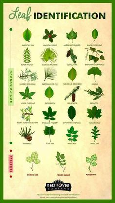 Whether you're a curious hiker or nervous camper leaf identification is a useful skill to have. Learn how to identify different types of non-poisonous and poisonous leaves like poison sumac sugar maple poison oak gingko and poison ivy.
