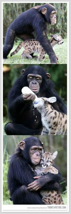 In the animal kingdom, there is nary anything cuter than two unlikely animals becoming best of friends -- a look at the 10 most unusual animal friendships! Unusual Animal Friendships, Unusual Animals, Animals Beautiful, Cute Baby Animals, Animals And Pets, Funny Animals, Wild Animals, Monkeys Animals, Funny Monkeys