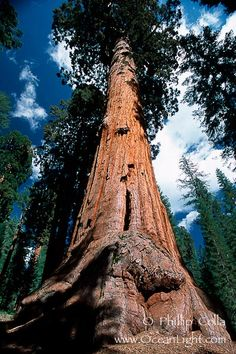 Giant Sequoia Tree Photo, Stock Photograph of a Giant Sequoia Tree, Sequoiadendron giganteum, Phillip Colla Natural History Photography Giant Sequoia Trees, Giant Tree, Big Tree, Sequoiadendron Giganteum, Conifer Trees, Redwood Forest, Unique Trees, Nature Tree, Photo Tree