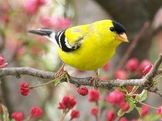 goldfinch, Washington State Bird & twinzie to my canary Charles DeMar