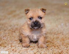 Cairn Terrier Puppies - Bing Images