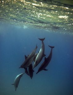Dolphins-bottle nose-swam with their cousins off Oahu last month.  Check off bucket list.....*-)
