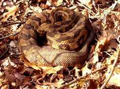 "Timber Rattlesnake, showing how patterns help conceal predators and prey. From ""Outdoor Alabama"""