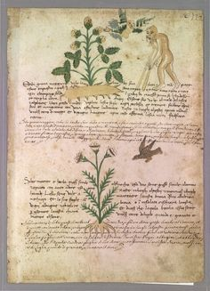 Italian Herbalpage #36 Sermontano - plant with bird (eagle?)