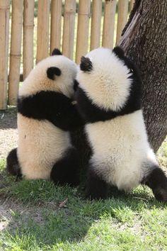 Giant Panda Zoo …