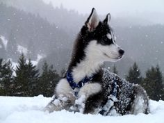 simply gorgeous dog..husky