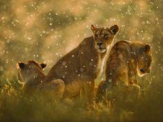 Afrikaanse leeuwen in de regen