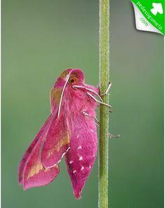 Deilephila porcellus. Conhecida como mariposa-elefante, a parte anterior da lagarta desta espécie possui uma forma de tromba, o que lhe dá uma aparência de elefante quando levantada, daí o  nome comum da espécie na língua inglesa.  Fotografia: Reprodução / ACREMAR.