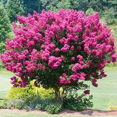 Bright Lavender Flowers for up to 6 months! - Delicate lavender blossoms Grows up to 5 ft. per year! Highly mildew resistant The new Muskogee Crape Myrtle™ is one of the few trees to bloom rich lavender purple flowers. When you order these Muskogee Crape Myrtles... you not only get blooms that truly stand out from the...