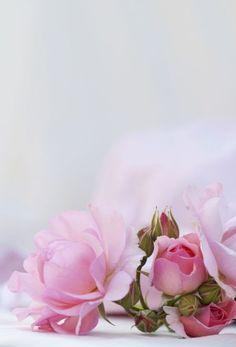 Flower Background Wallpaper, Flower Phone Wallpaper, Background Pictures, Flower Backgrounds, Flower Wallpaper, Wallpaper Backgrounds, Pretty Flowers, Pink Flowers, Beautiful Nature Wallpaper