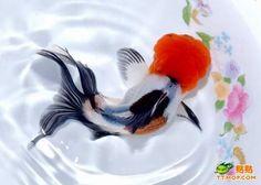 oranda - hope yall dont mind my goldfish spam ;)