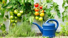 Tomaten pflanzen: Tipps zum Anbau und den besten Sorten