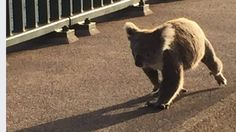 Petition · Stop the destruction of koala habitat in Port Stephens · Change.org