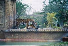 Miami Zoo - tiger exhibit