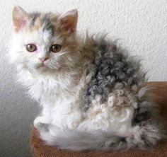 Beautiful Curly Haired Cat Breeds in the World Pretty Cats, Beautiful Cats, Cute Kittens, Cats And Kittens, Curly Haired Cat, Selkirk Rex Kittens, Fluffy Cat Breeds, Baby Animals, Cute Animals