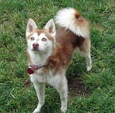 This is a very pretty klee kai. A klee kai is a mini version of a siberian husky. This one happens to be a red one, but they also come in diffrent colors. Alaskan Klee Kai, Husky Mix, Husky Puppy, New Puppy, Red Husky, Alaskan Malamute Puppies, Alaskan Husky, Mini Huskies, Siberian Huskies