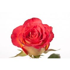 Red and Yellow Bi-color Rose - High Society
