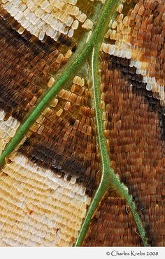 Butterfly - Charaxes candiope Scales