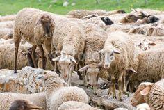 Pecore al pascolo a Castelluccio di Norcia (Umbria, Italy) - Sheep grazing © Pietro D'Antonio