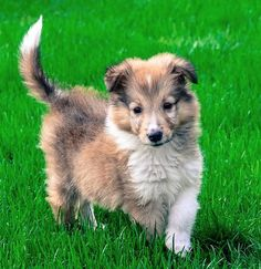 splashduck collection of cute adorable animal pictures and related information websites. Rex the Collie