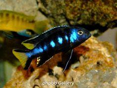 "Pseudotropheus (Metriaclima) sp. ""elongatus Chewere"" (Chewere) - 6"""