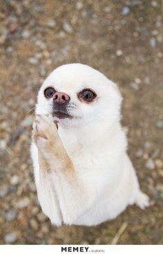 A Small White Dog Begging