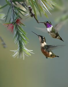 Love hummingbirds