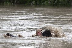 Cat and owner swim for dry land in Alberta, Canada, after June 2013 floods. Posted by floodlist.com