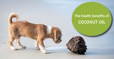 There are a variety of oils pet owners can use as part of a healthy diet. The health benefits of coconut oil for dogs make it a great companion to fish oil.