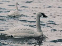 Robot swans bring new advanced technology to water testing