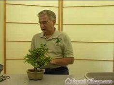 How to Grow Bonsai Trees : Repotting Bonsai Trees : Professional Bonsai ...