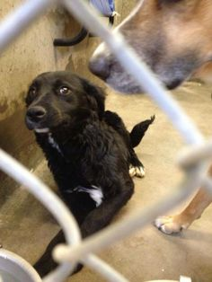 OWNER SURRENDER! SHE'S TERRIFIED! and she has good reason to be unfortunately. SHE IS URGENT!! WILL DIE IF NOT OUT BEFORE TUESDAY 4/22 @ 7PM. Collie/Lab mix female less than a year old. Kennel A29**OWNER SURRENDER!! Looks like a curly haired Retriever. She is terrified and doesn't deserve to DIE!!! Odessa TX Animal Control. https://www.facebook.com/speakingupforthosewhocant/photos/a.248402621850650.69312.248355401855372/762160467141527/?type=1&theater