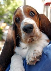 Otis, as a baby basset   by ronhuntley