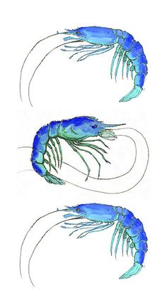 """Blue Shrimp Trio"" Colorful blue shrimp watercolor painting. #seafood #shrimp #coastal #nautical Museum quality prints starting at $22 © Alexandra Nicole Newton"