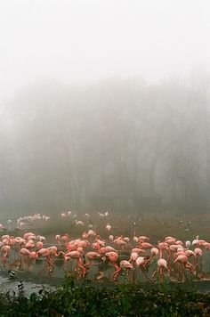 Flamingos in the mist