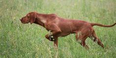 Rhodesian Ridgeback, Weimaraner, Vizsla Dog, Animals And Pets, Cute Animals, Hunter Dog, Hungarian Vizsla, Hunting Dogs, Dog Photography