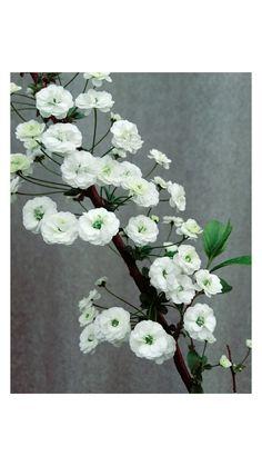 #plant #white #flower #spring
