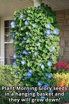 Plant Morning Glory seeds in a hanging basket and they will grow down! #container #gardening #hangingbasket #morningglory
