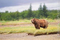 500px / Overlook by Christopher Dodds. Brown Coastal Bear