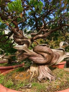 Mother Nature Tree Art Awesome Ideas For 2019 Weird Trees, Magical Tree, Twisted Tree, Unique Trees, Bonsai Garden, Garden Planters, Succulent Planters, Succulents Garden, Old Trees