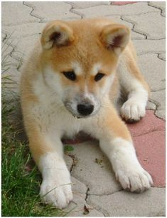 How To Make Puppy Training An Easy Process. Dogs need a commitment from you. All dogs need training to know what is acceptable be Akita Puppies, Rottweiler Puppies, Cute Puppies, Cute Dogs, Dogs And Puppies, Akita Inu Puppy, Doggies, Animals And Pets, Baby Animals