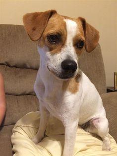 Found Dog - Beagle - Loganville, GA, United States