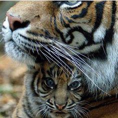Tiger! :D