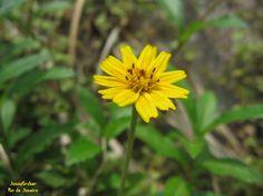 https://flic.kr/p/DveFMJ   Pequena   Pequena flor amarela de Mendes-RJ