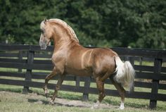Bolero de Sierra Morena- beautiful diagonal-gated Paso Fino-Iberian cross Stallion