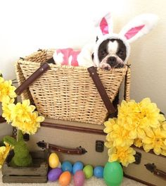 Boston terrier Easter bunny!
