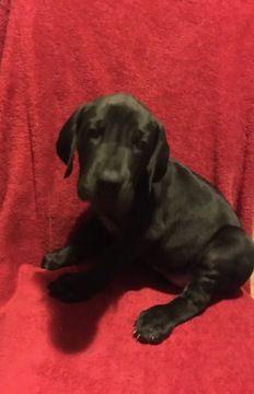 Great Dane Puppy For Sale In London Ky Adn 59966 On Puppyfinder