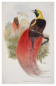"John Gould | Marquis de Raggi's Bird of Paradise, vol. 1, pl. 32 from John Gould (1875 - 1888), ""Birds of New Guinea and the adjacent Papuan islands, including many new species recently discovered in Australia"", completed after the author's death by R. Bowdler Sharpe."