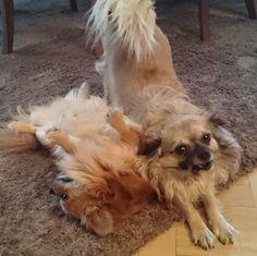 #chichuahua #chihuahua #chihuahuas #chihuahuasofinstagram #chihuahualove #dogsofinstagram #dogs #sweetdog #instadogs #instadog #chihuahualonghair #chihuahualife #smalldogs  Photo By: marek.rusiecki  http://bit.ly/teacupdogshq