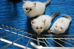 White kittens... Reminds me of  my moo mooo at home!